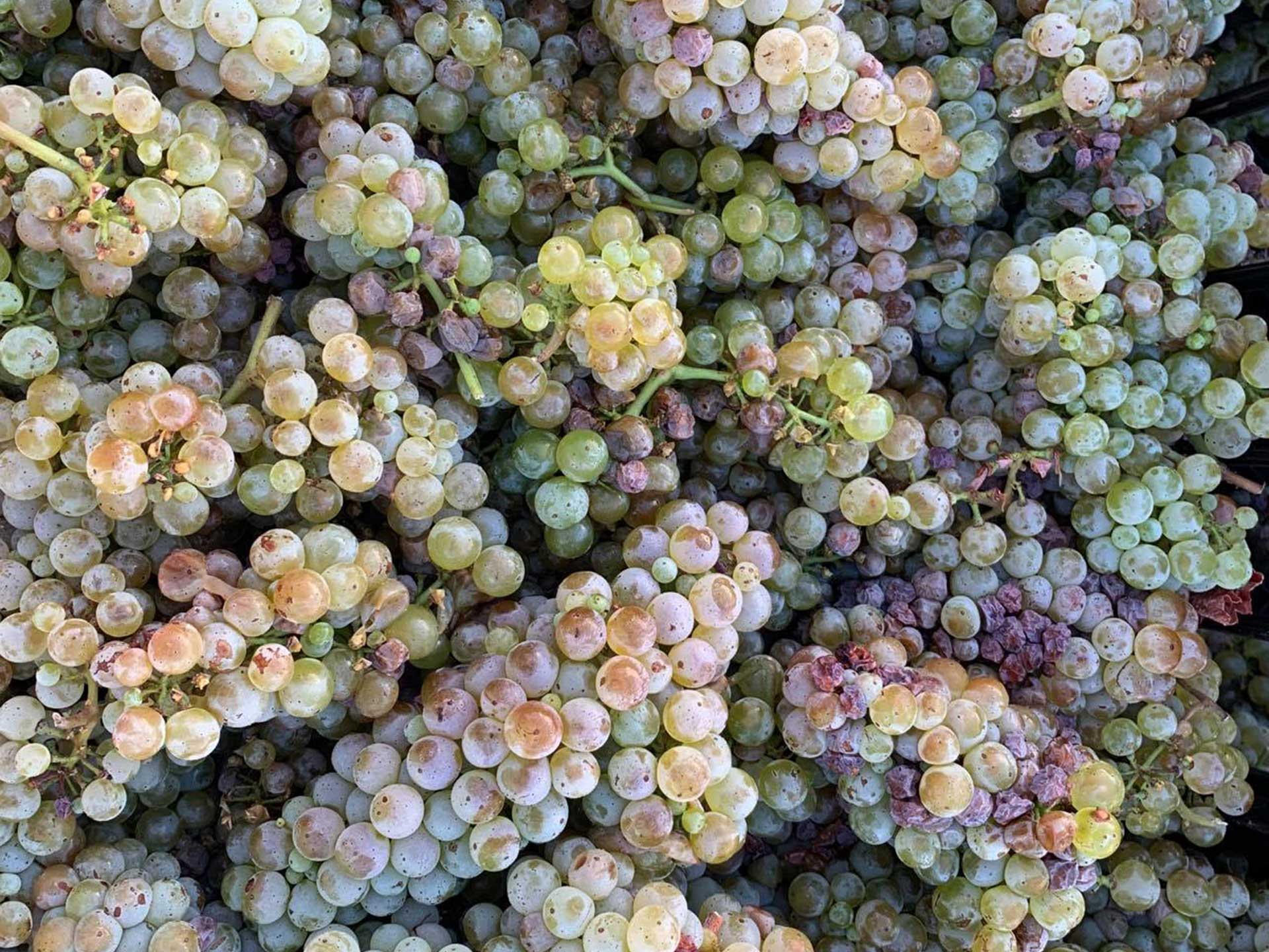 white wine grapes ready for crushing