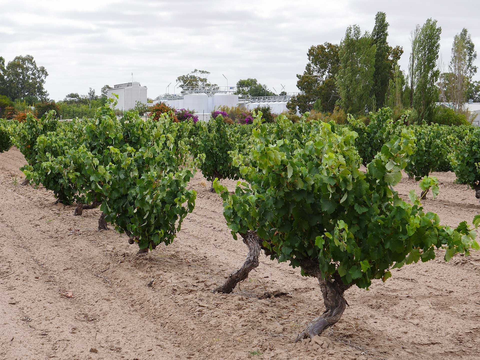 Dry grown old grape vines